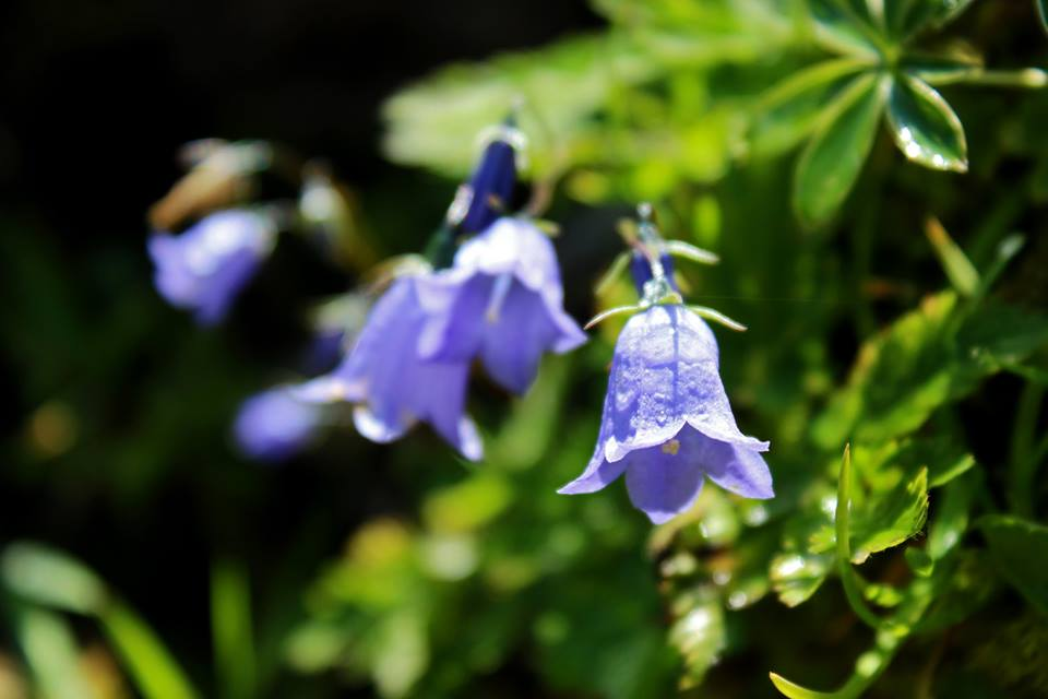 wivena GmbH Campanula rotundifolia